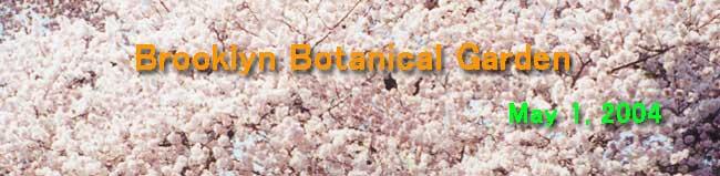 花見ーBrooklyn植物園